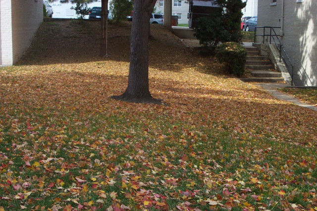 Leaves fallen in grass, on the grounds of Kingsport Apartments in Alexandria, VA