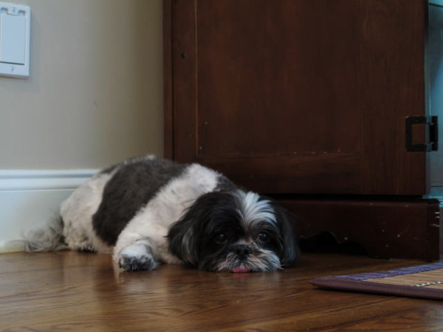 A miserable dog, tongue hanging out, laying on the floor.