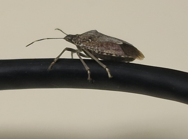 Stink bug on a wire, cropped.
